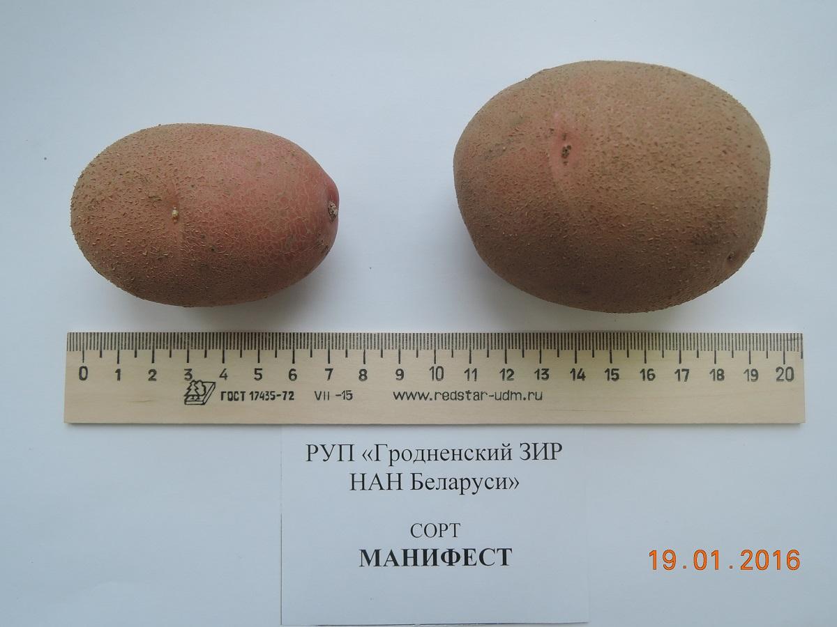 Картофель манифест: описание сорта, качества, урожайность