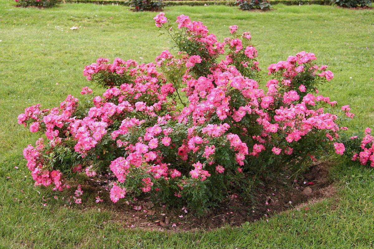 Почвопокровные розы: описание, лучшие сорта, посадка и уход