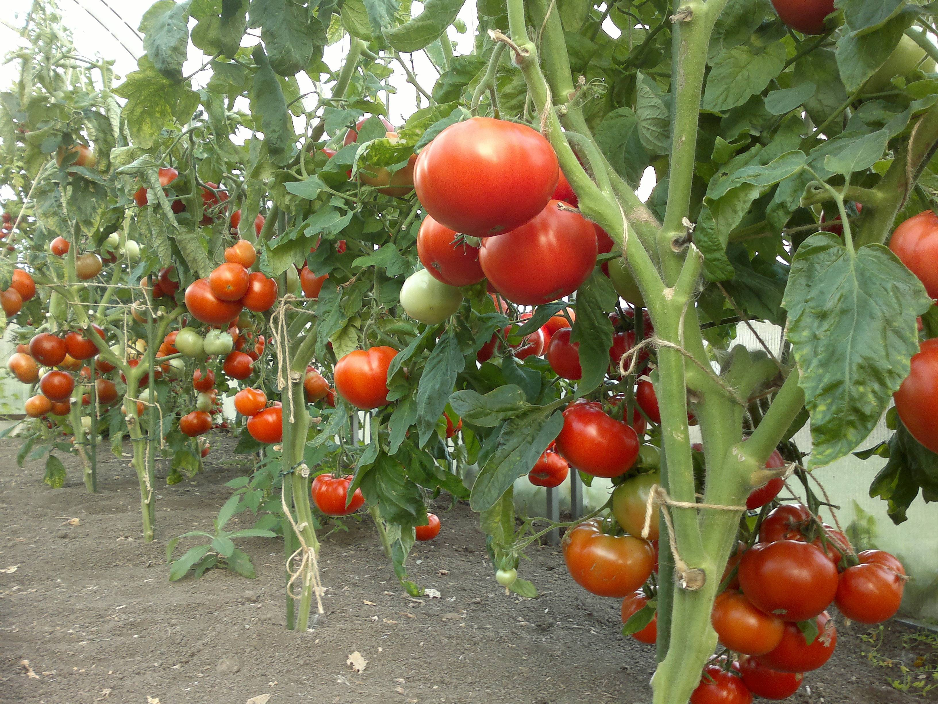 Помидоры для ленивых огородников, выращивание, сорта, отзывы
