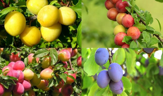 Лучшие сорта сливы для урала - сад и огород