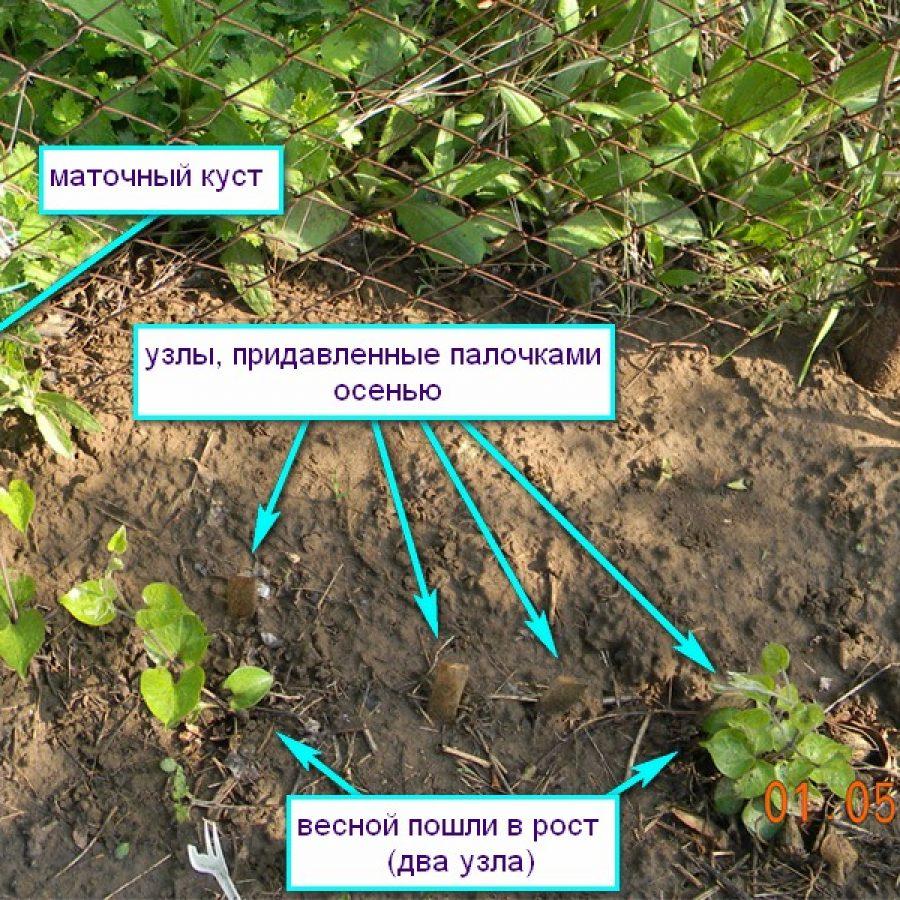 Клематис посадка и уход в открытом грунте пересадка размножение