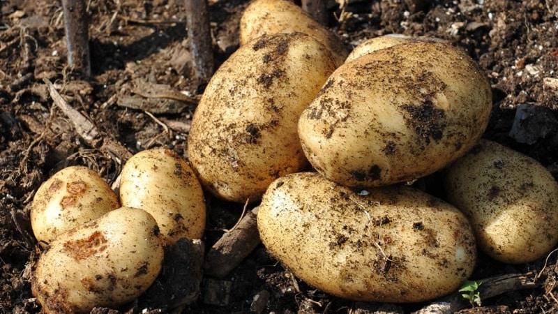 Описание сорта картофеля снегирь