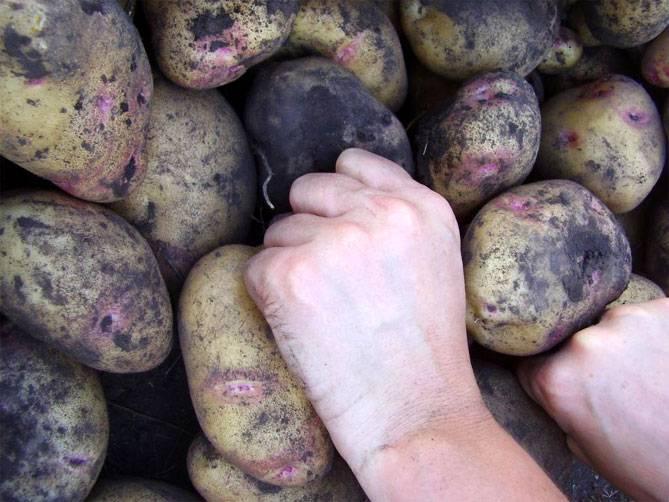 Красные сорта картофеля с красной и розовой кожурой глазками, с желтой и белой мякотью: описание и фото