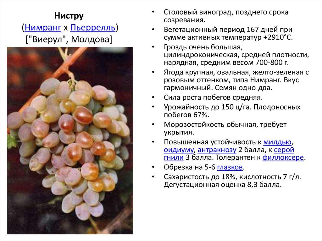 Описание и характеристика винограда сорта ливия
