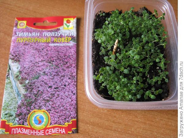 Выращивание тимьяна или чабреца из семян на рассаду в домашних условиях. описание, фото сортов
