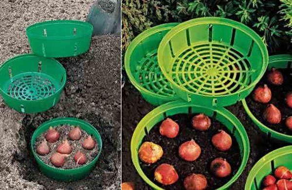 Как сажать тюльпаны в корзины для луковичных - сад