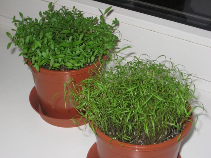 Как выращивать петрушку на подоконнике зимой и рекомендации по уходу за культурой в домашних условиях