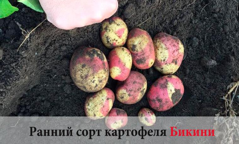 Лучшие сорта картофеля самые вкусные и урожайные: их описание, характеристика, фото
