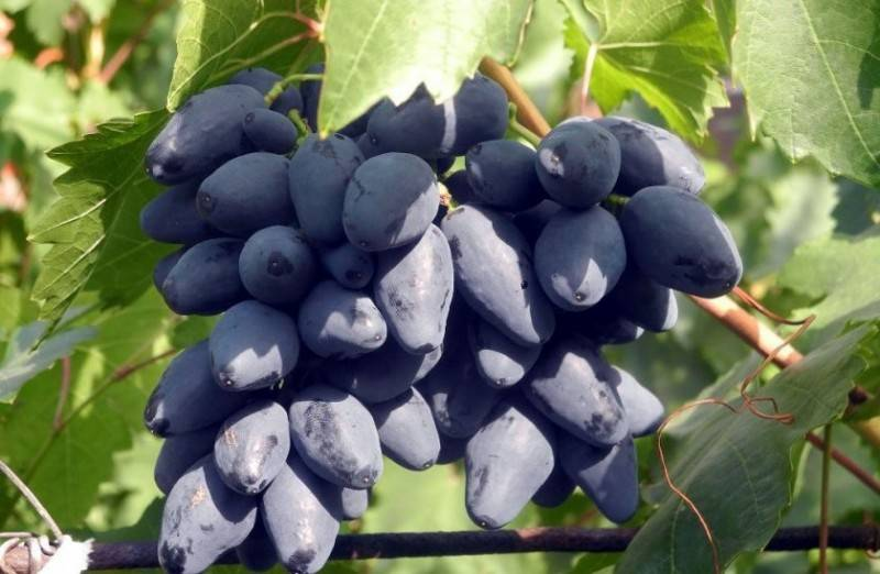 Шираз (syrah) - вино сира, описание и характеристика сорта винограда, вкус