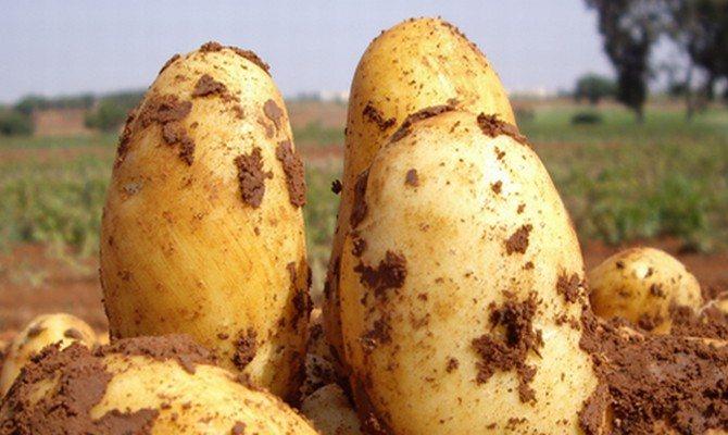 Картофель уладар: описание сорта и особенности выращивания