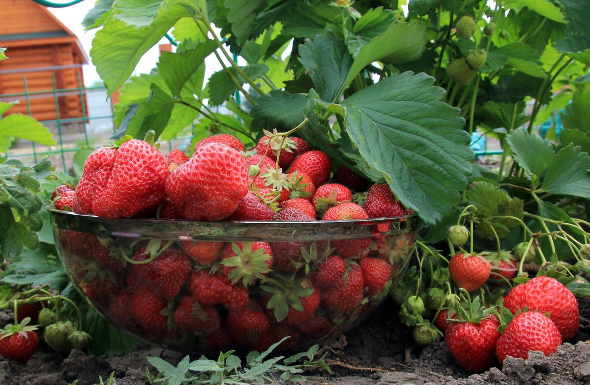 Как повысить урожайность клубники - способы его увеличения