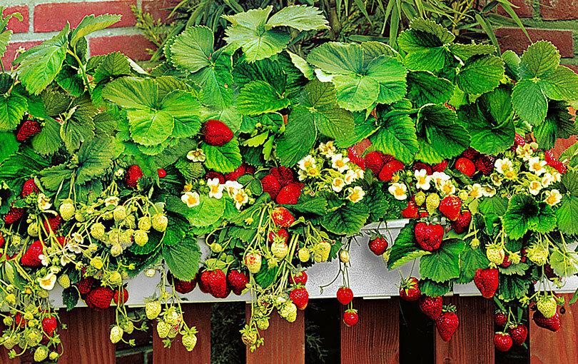 Выращивание клубники круглый год в домашних условиях + видео