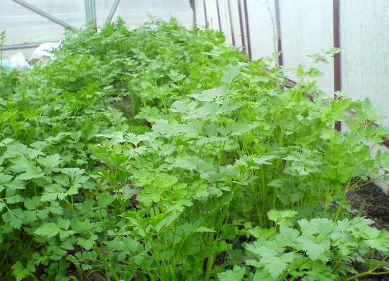 Что выращивать в теплице? посадка и уход, как вырастить и собрать ранний урожай, а также когда сажать весной и зимой растения, схемы и фото-материалы русский фермер