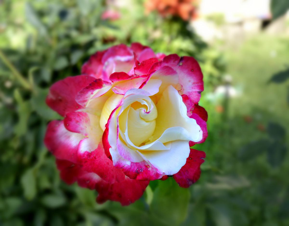 Зимостойкие розы: 20 лучших сортов «королевы» цветов с фото для выращивания в подмосковье, сибири, средней полосе