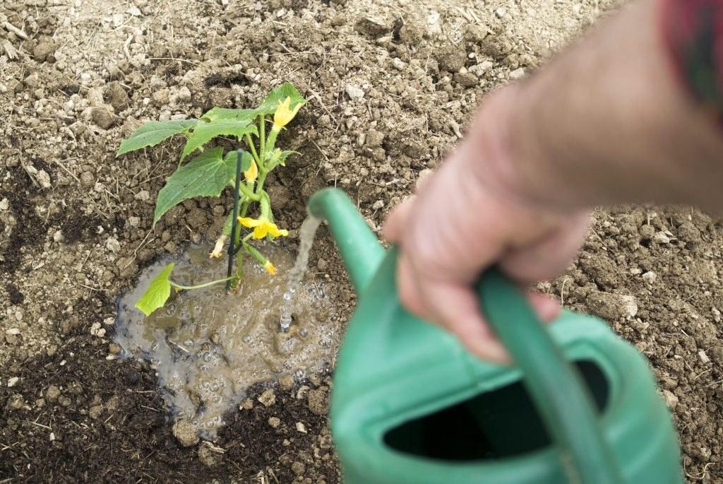 Как правильно поливать арбузы - огород, сад, балкон - медиаплатформа миртесен