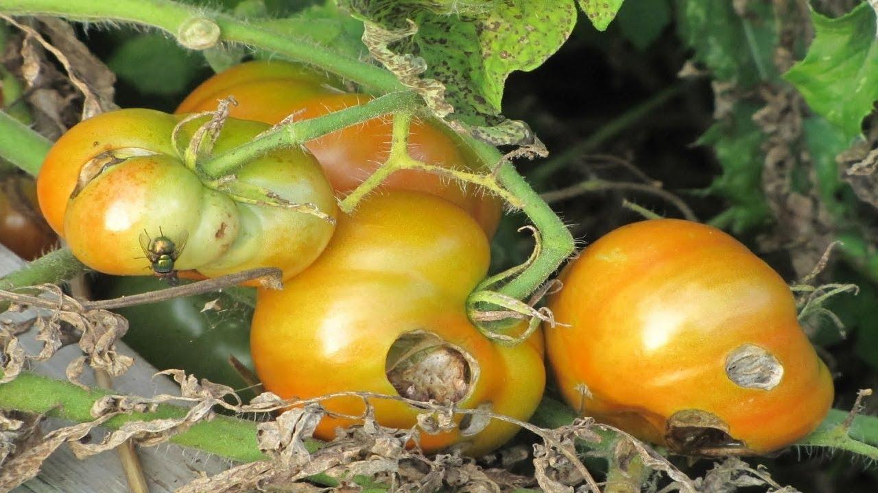 Чего не хватает томатам? учимся определять недостаток макро- и микроэлементов по состоянию растений