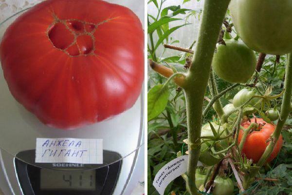 Описание томата Анжела гигант, посев и разведение среднеспелого сорта