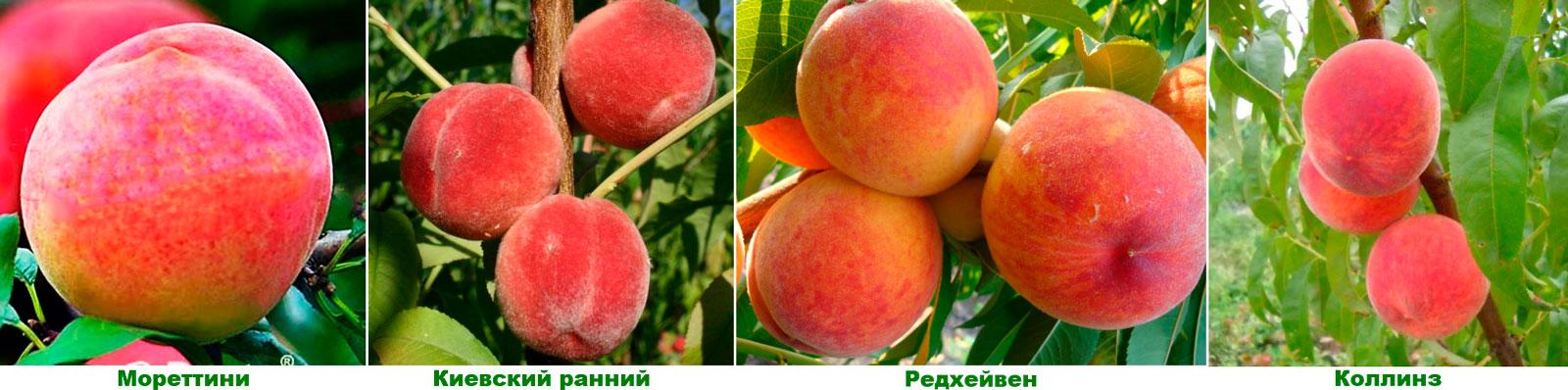 Персик: посадка, уход и обрезка