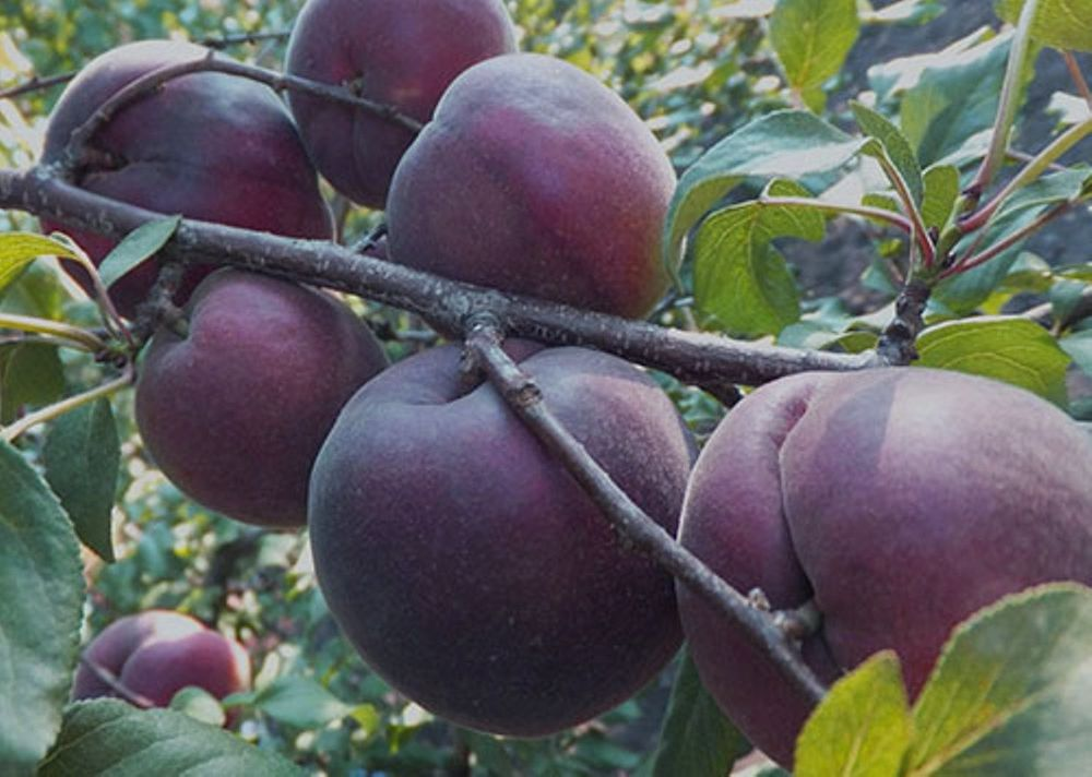 Абрикос черный бархат: описание и характеристики сорта, выращивание, размножение