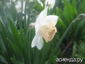 Нарцисс таити: описание и характеристики сорта, посадка, выращивание и уход
