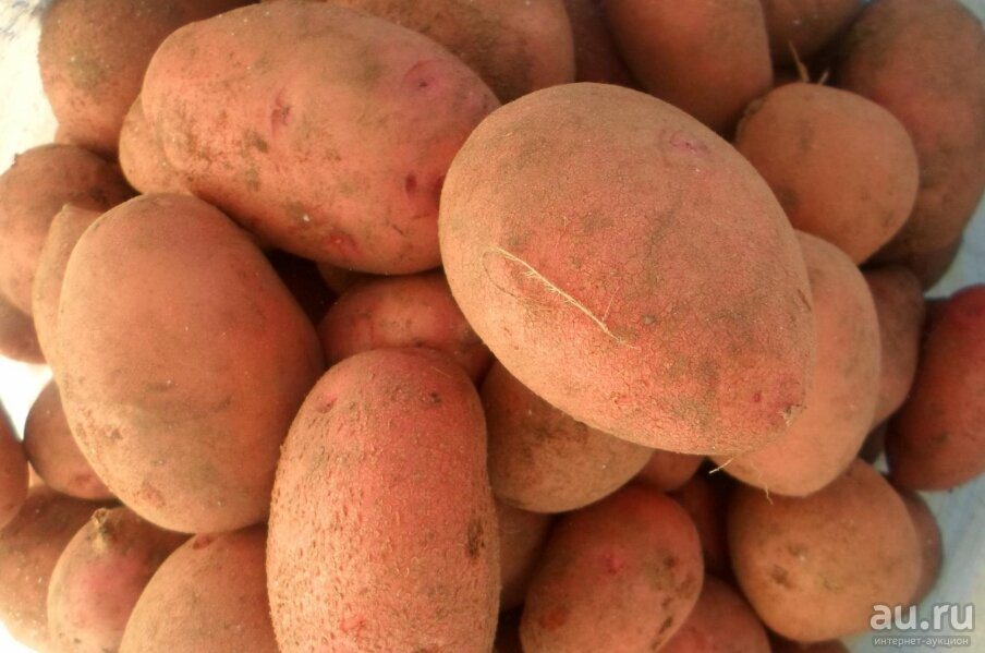 Картофель петрович: описание сорта, посадка, уход, фото, отзывы