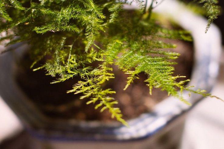Аспарагус: полезные свойства и вред, который может нанести растение в доме как комнатный цветок или пищевой продукт на вашем столе, а также применение спаржи в медицине