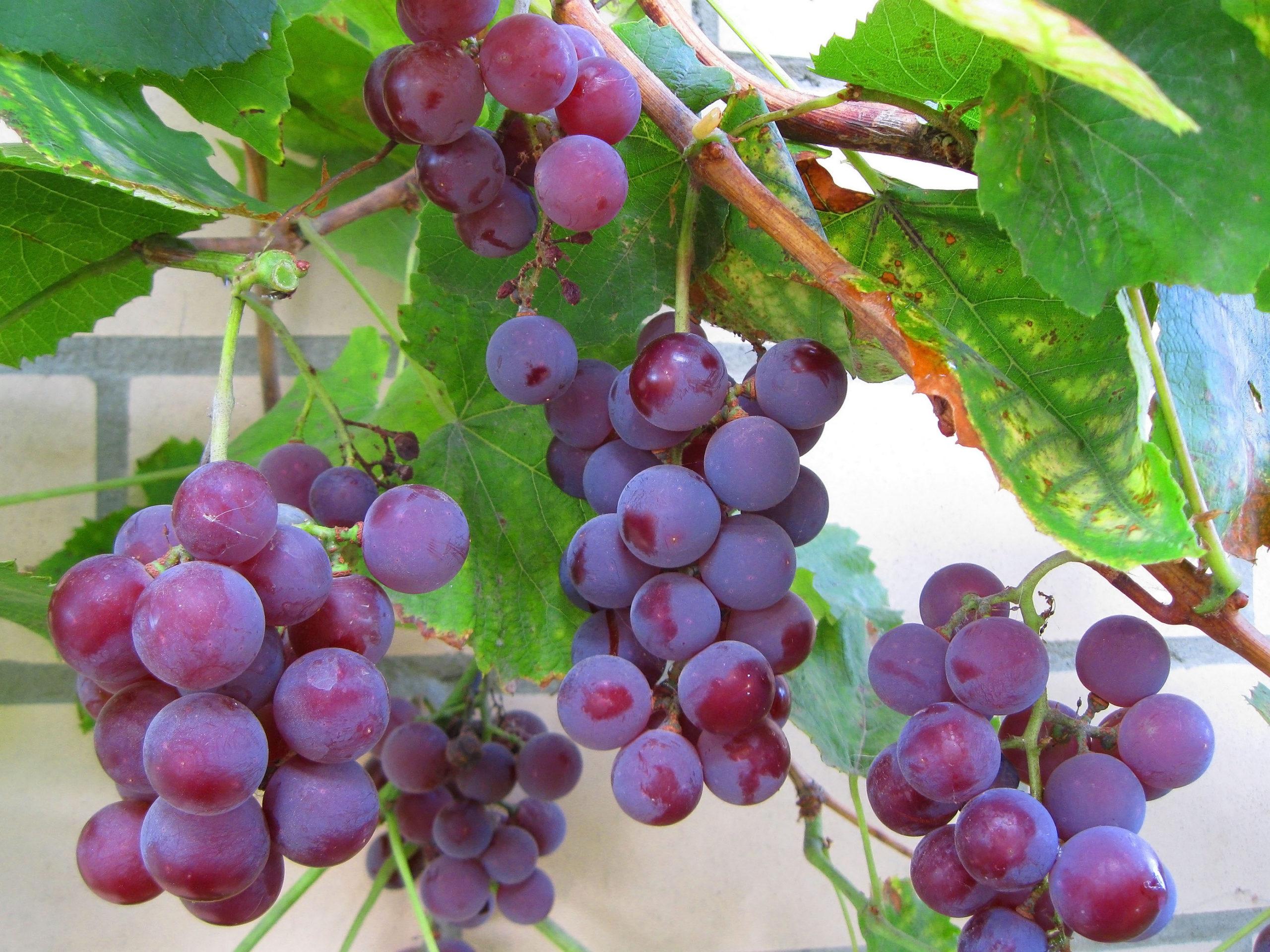 Виноград фиолетовый ранний: описание сорта, фото, отзывы