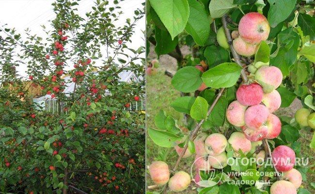 Яблоки «анис»: описание и фото свердловского, алого, полосатого и других сортов, особенности выращивания, посадки и прочие нюансы