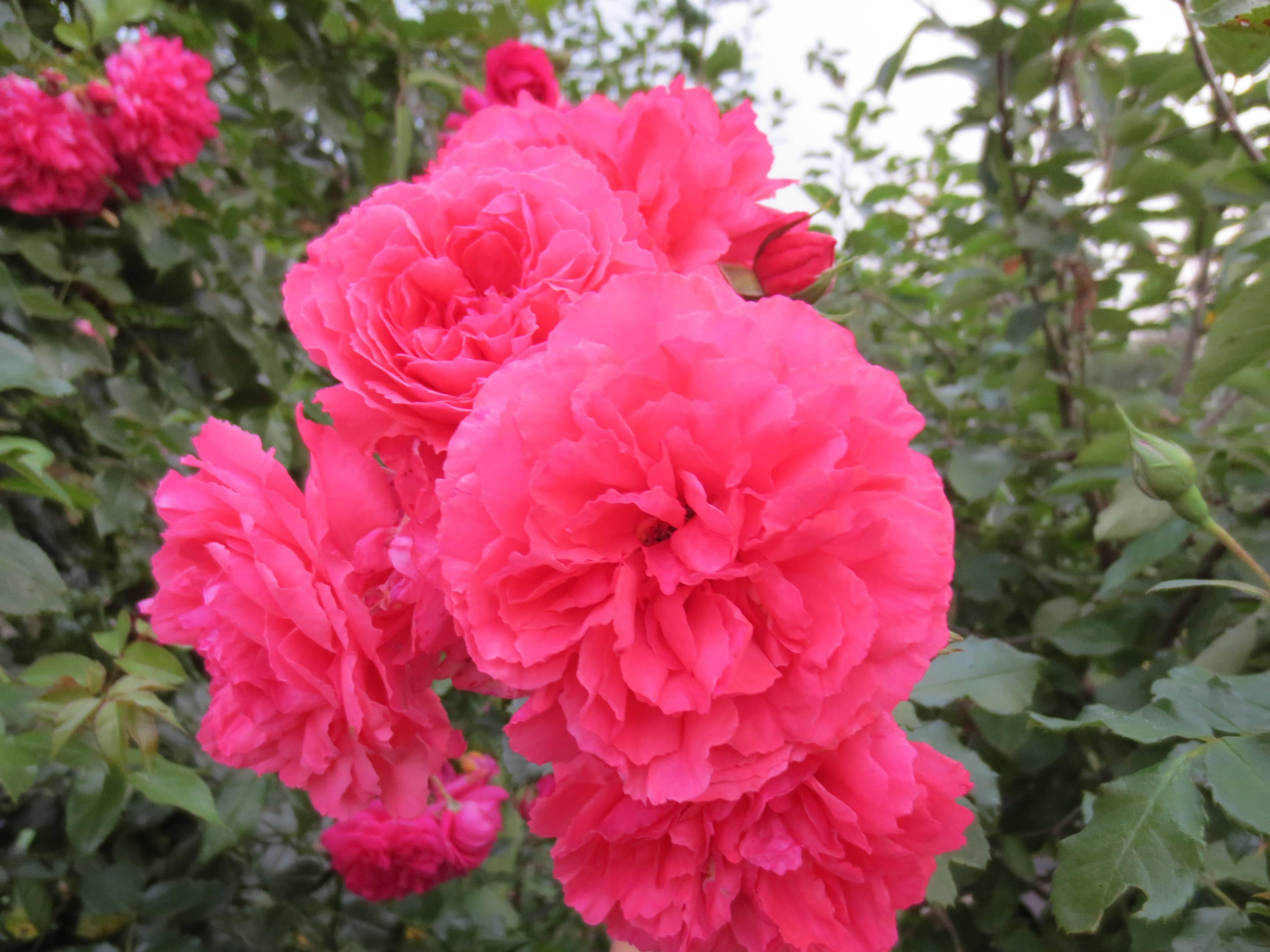 Роза розариум ютерсен: топ секреты выращивания и ухода с фото