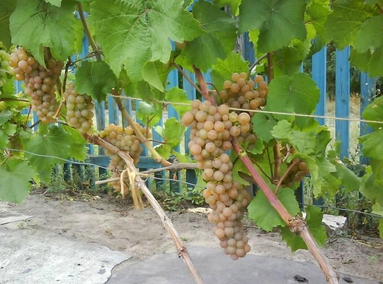 Виноград ливия: отзывы, фото, описание и характеристика сорта, выращивание, посадка и уход, обрезка
