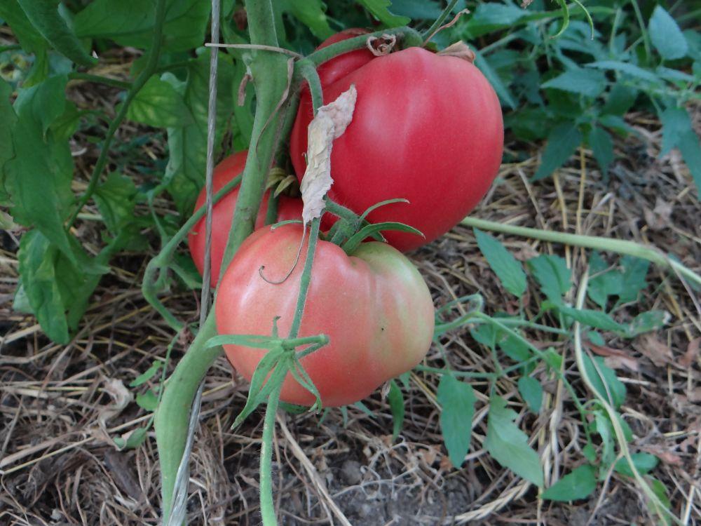 Томат фиделио: описание и характеристика сорта, фото, отзывы, урожайность