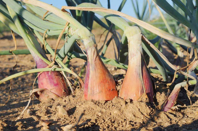 Секреты агротехники при выращивании лука-шалота