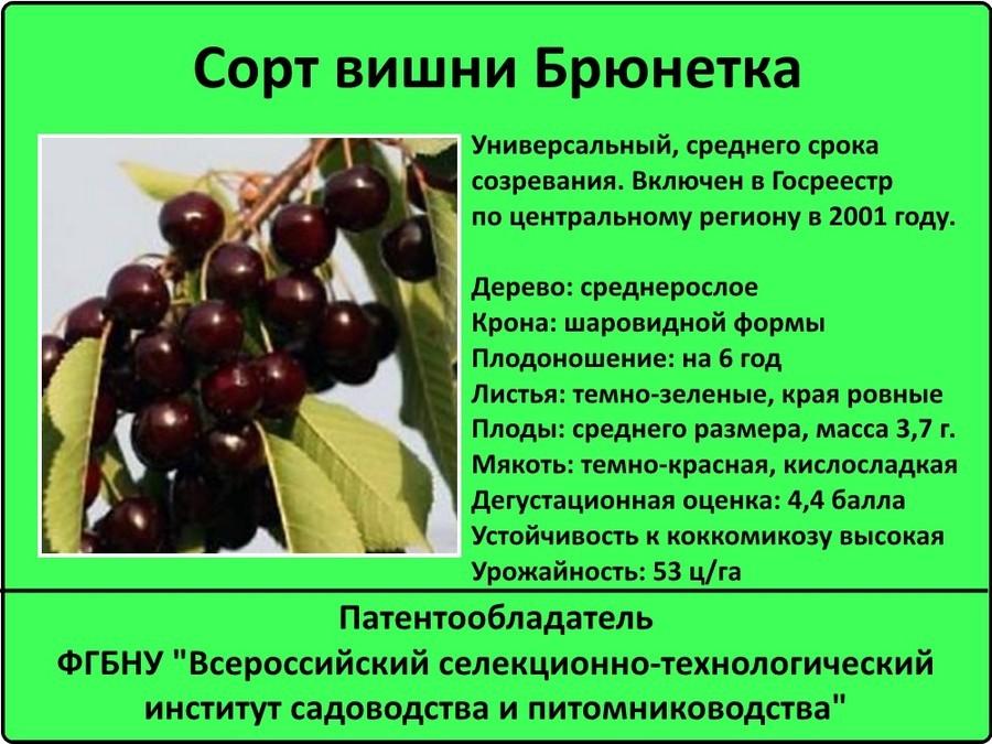 Сорта вишни: выбор сорта для посадки, описание и особенности популярных сортов (90 фото + видео)