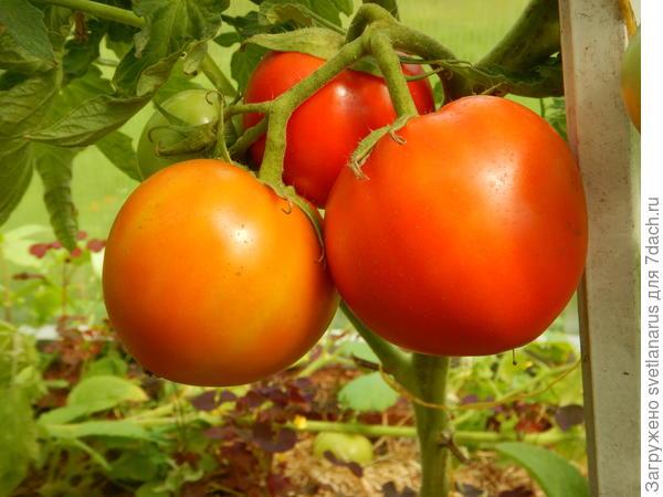 """ᐉ томат """"снежный барс"""" : описание сорта помидор и их фото, преимущества и недостатки, а также особенности выращивания - orensad198.ru"""