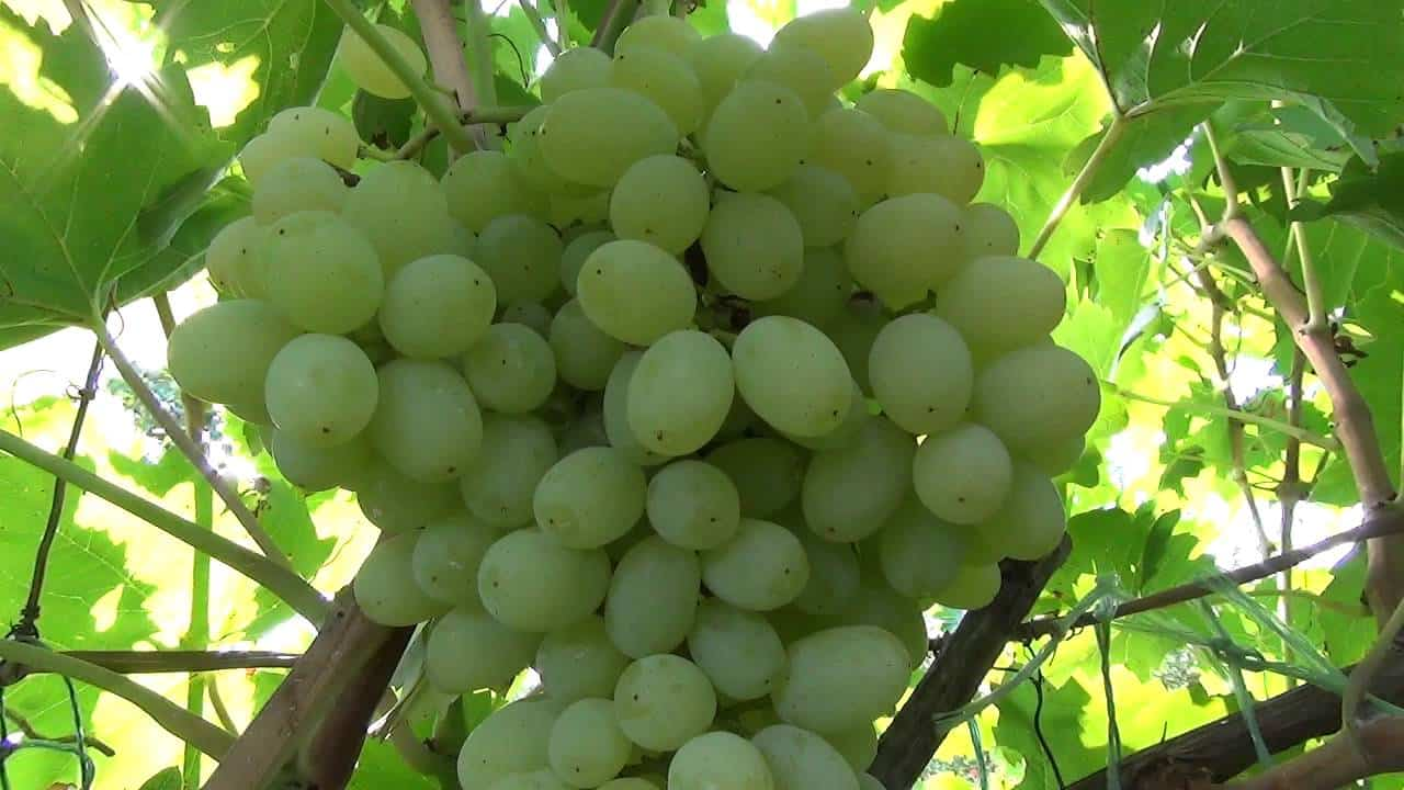 Виноград дамские пальчики: описание сорта, правила посадки и ухода