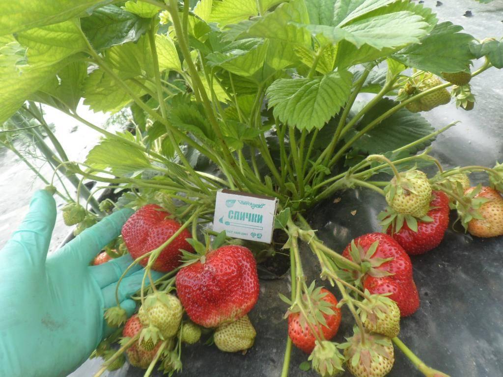 Сорт клубники чамора туруси: технология выращивания и агротехники, характеристика и описание