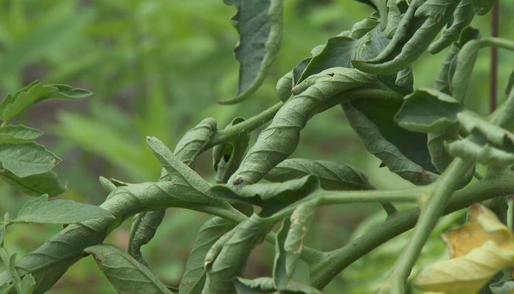 Рассада помидор и болезни скручивание листьев: причины, что делать, как их лечить