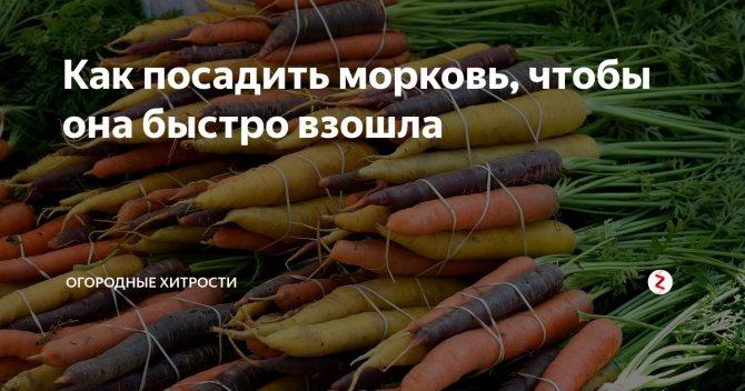 Как посадить семена моркови, чтобы быстро взошли: советы и рекомендации