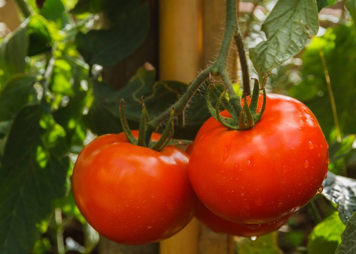 Лучшие томаты 2020 года: отзывы, фото, описание