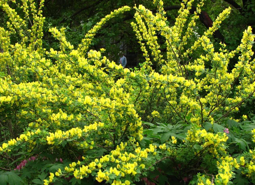 Высокие кустарники для живой изгороди: как выбрать растение для участка