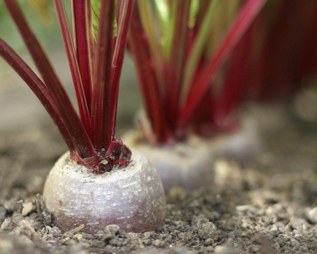 Секреты выращивания сладкой свеклы. как вырастить свеклу сладкой? правильное прореживание всходов и подкормка свеклы соленой водой