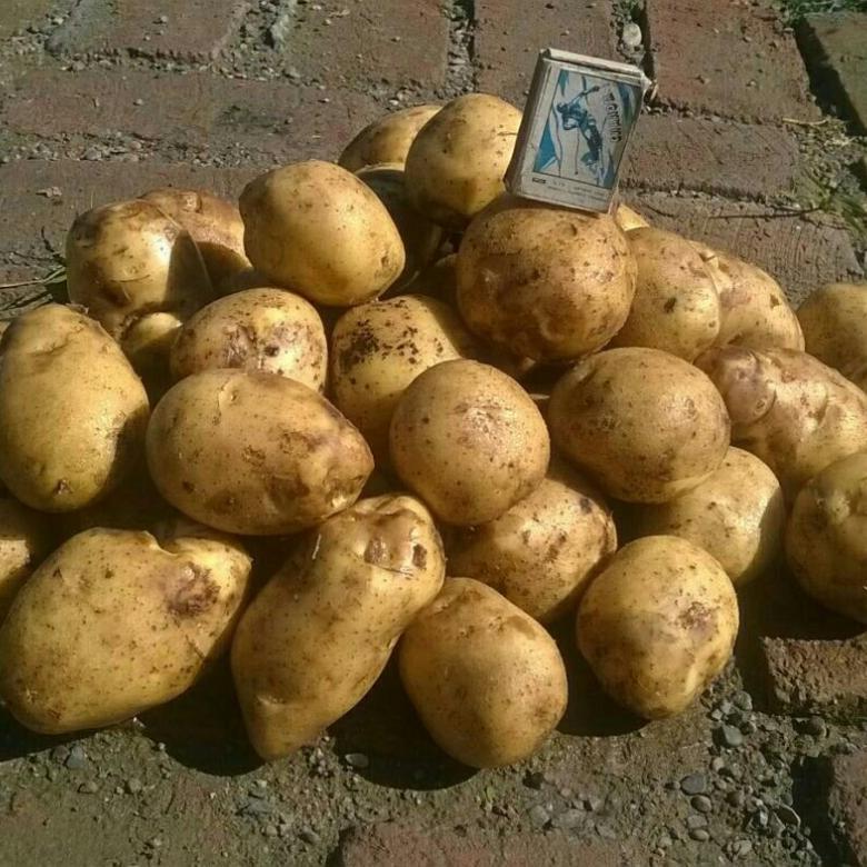Картофель - вектор - (27 фото): характеристика белорусского овоща и описание сорта, отзывы