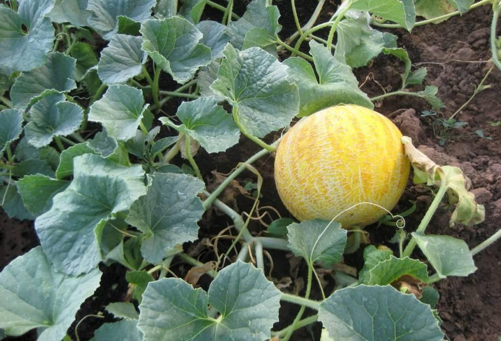 Арбузы и дыни в сибири: критерии выбора сорта, особенности выращивания в открытом грунте, теплице, отзывы, видео, фото