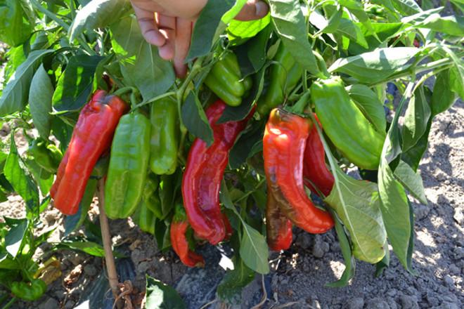 Перец какаду: описание сорта, фото, отзывы, характеристика плодов, урожайность, достоинства и недостатки