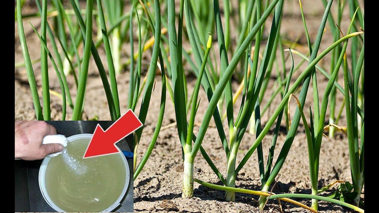 Лучшие подкормки для чеснока весной и летом: чем подкормить озимый и яровой чеснок для достижения урожайности