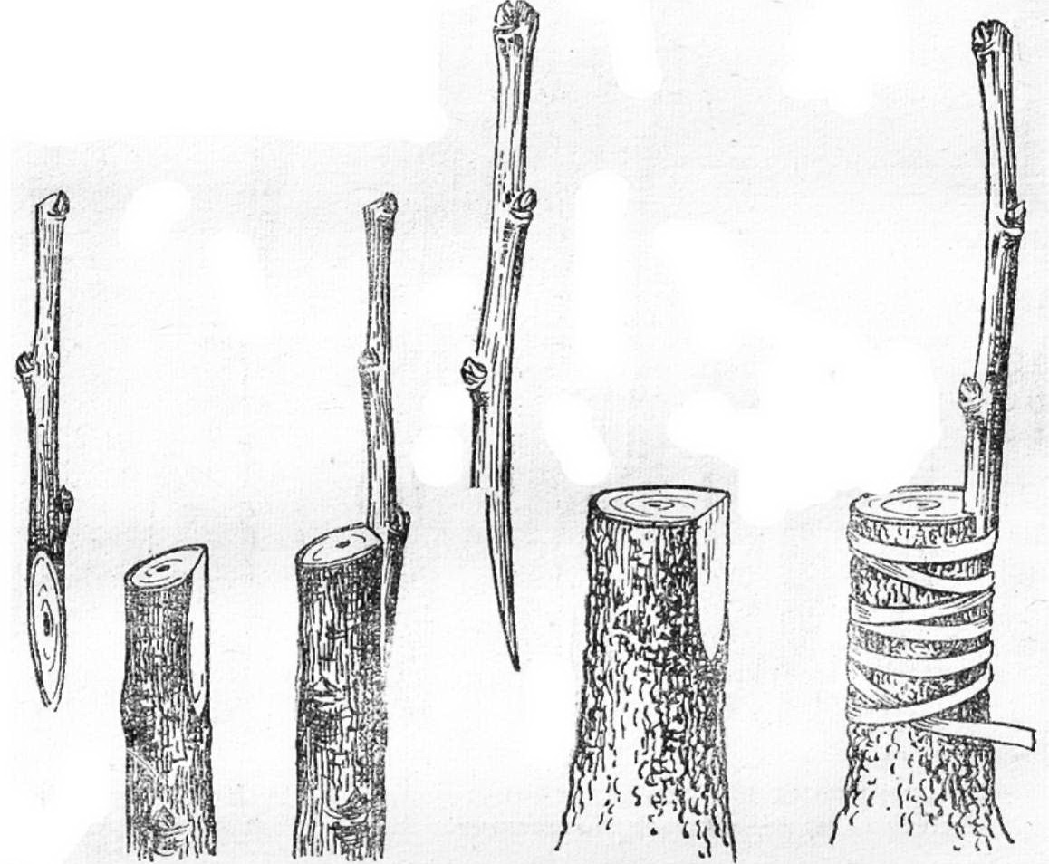 Летняя окулировка (прививка почкой) плодовых деревьев: инструкция для начинающих
