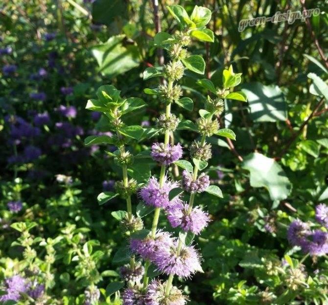 Мята шоколадная: описание растения, посадка и уход, выращивание, отзывы с фото