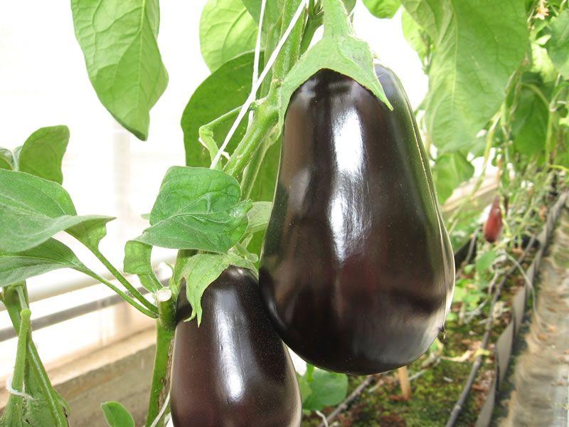 Особенности посадки баклажан в теплицу и правила ухода за ними до сбора урожая