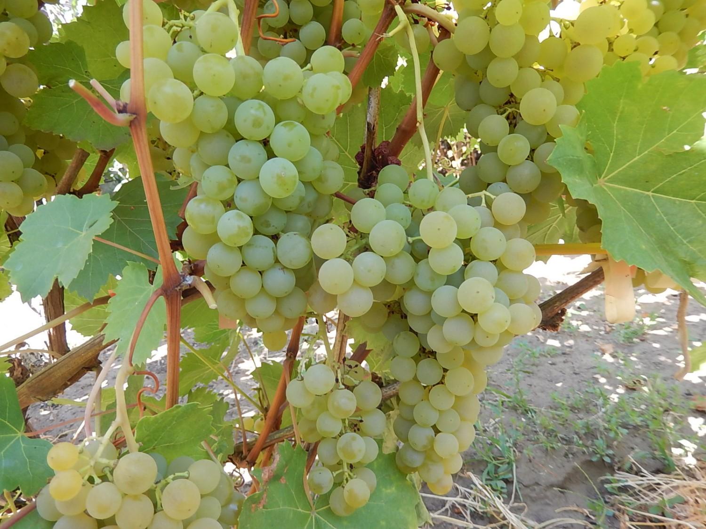 Сорт винограда ркацители: описание, требования к обрезке и сбору урожая
