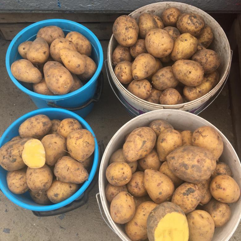 Картофель гала: 50 фото, ? описание сорта, полезные свойства и противопоказания